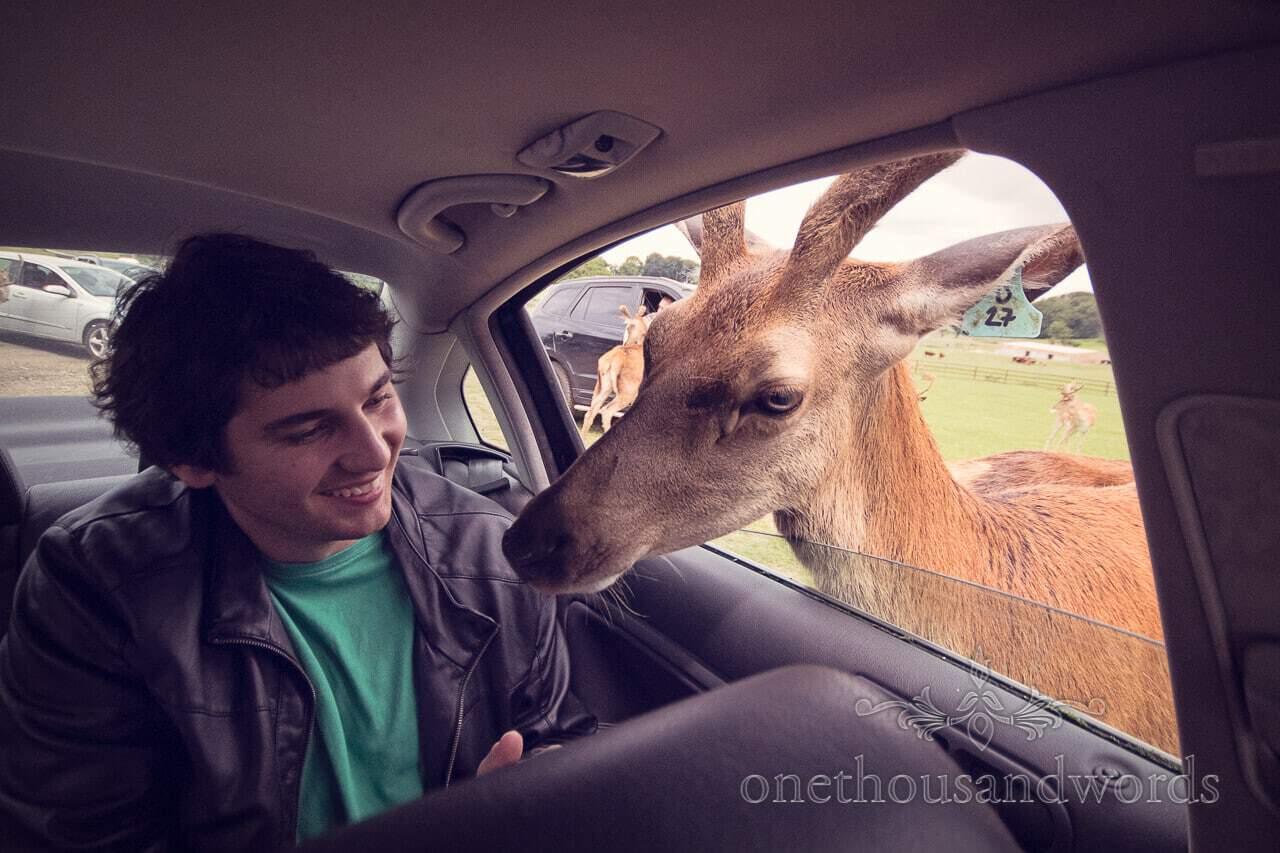 Longleat Deer feeding in the car