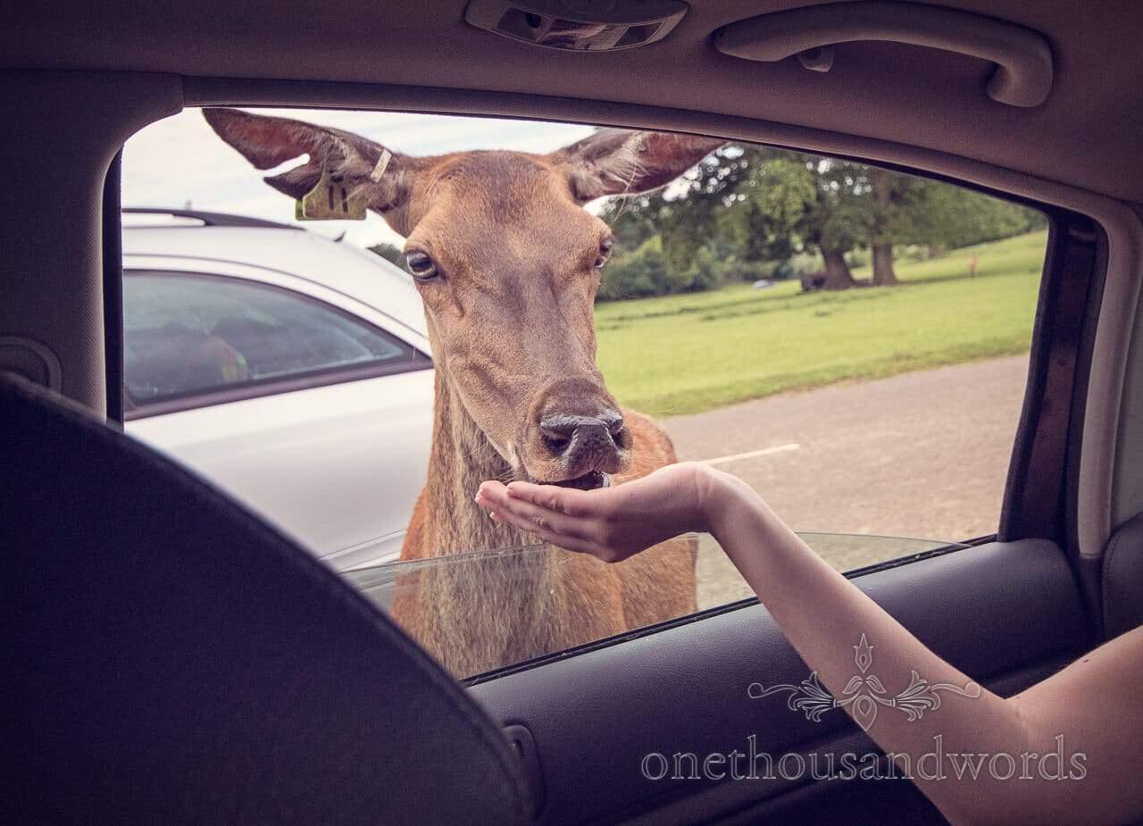 Longleat engagement photographs feeding deer