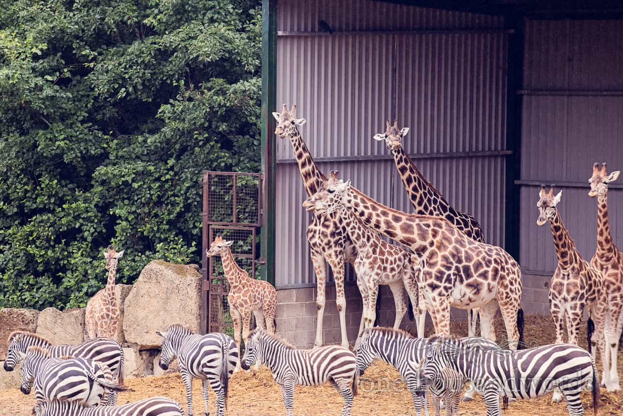 Longleat giraffes and zebra from engagment photographs