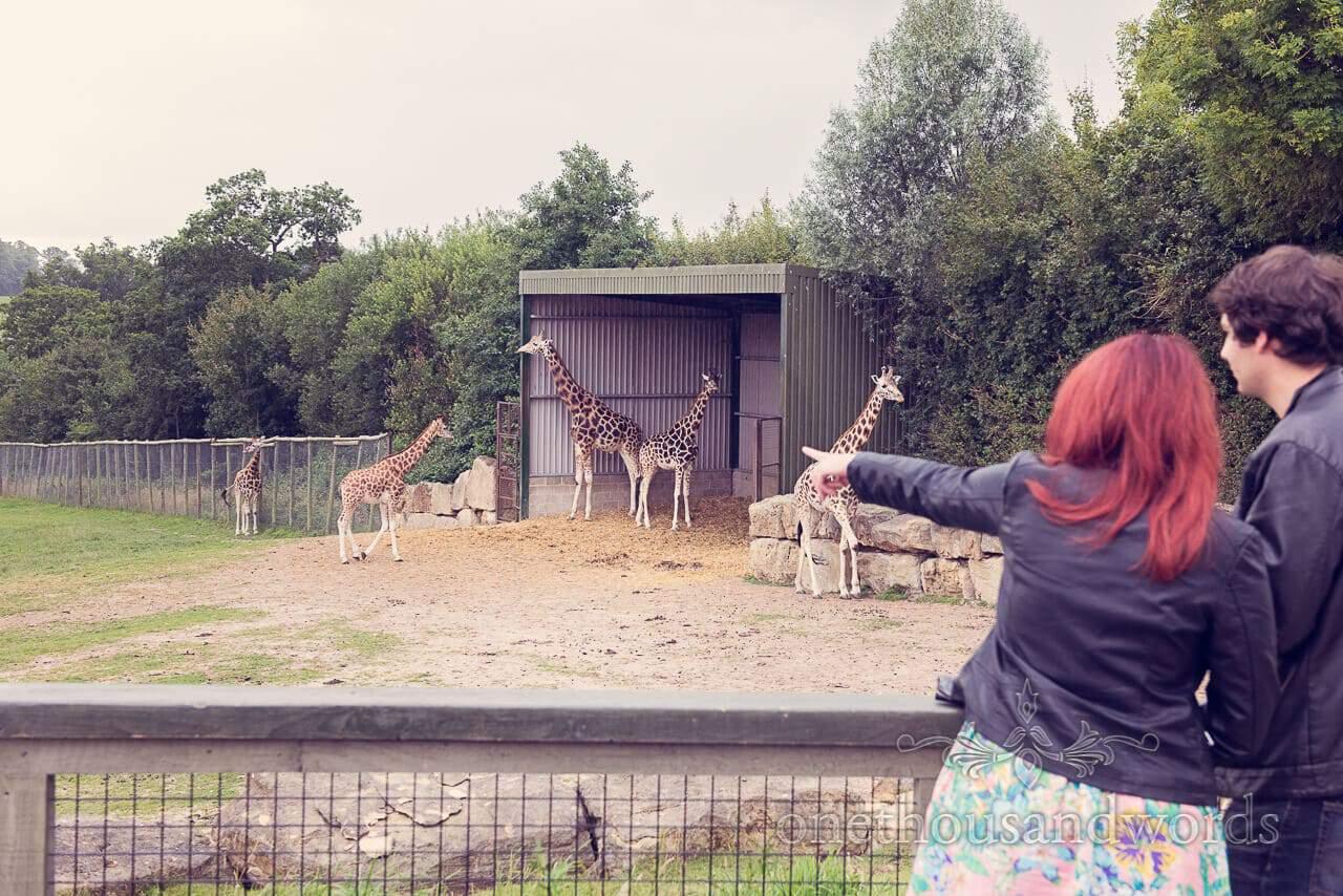 Longleat giraffes at engagement photo shoot