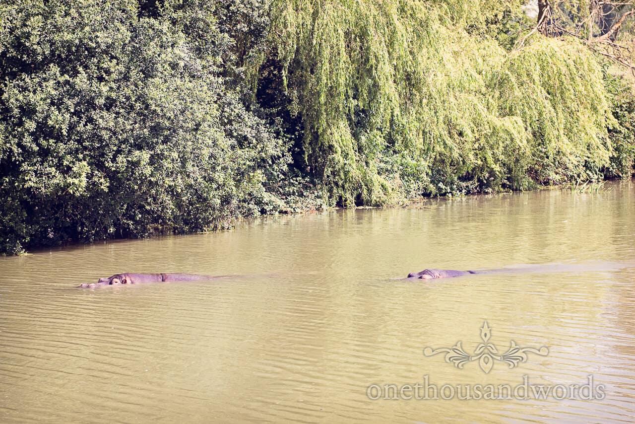 Longleat Hippopotamuses Photograph
