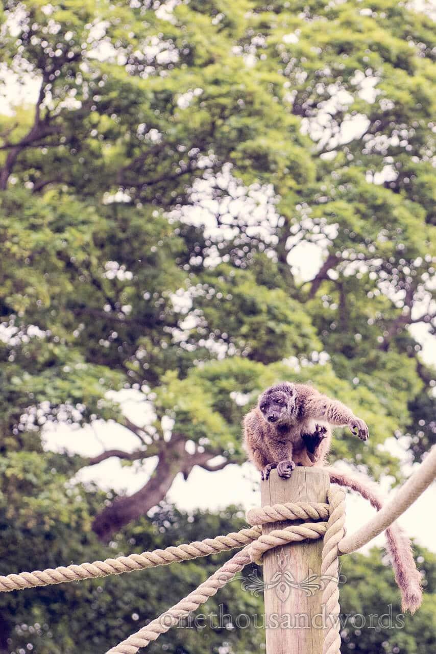 Longleat Lemur portrait