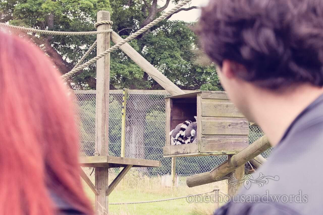 Longleat lemurs at engagment photo shoot