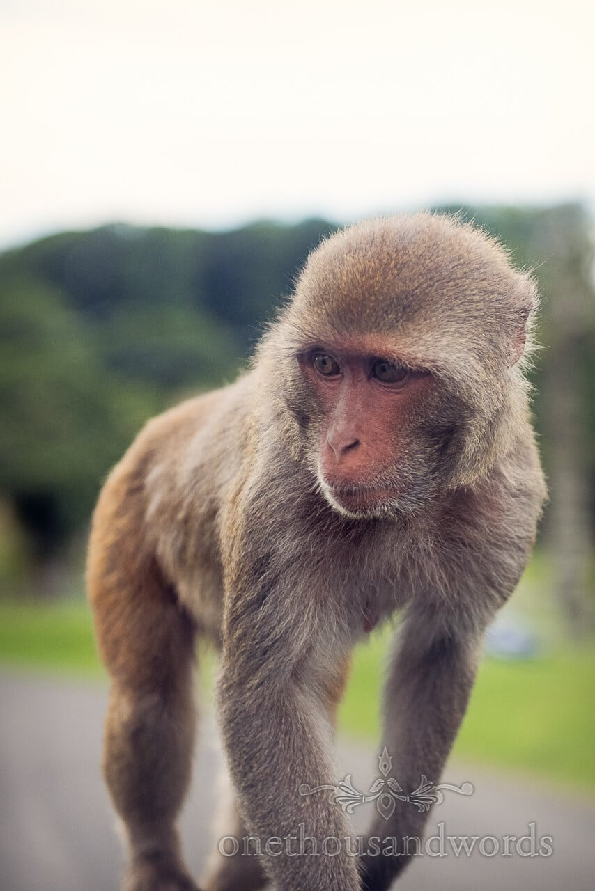 Longleat Monkey Portrait