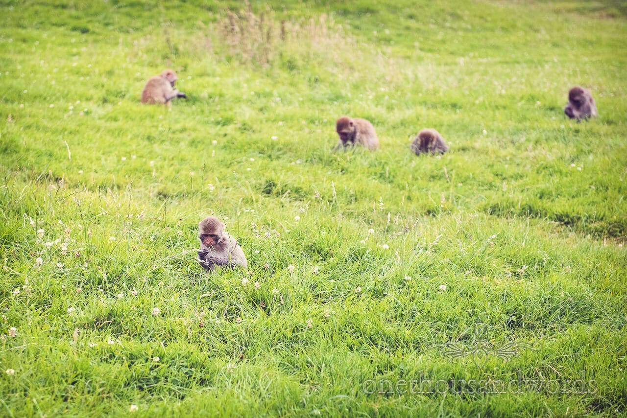 Longleat Monkeys in the grass Photograph