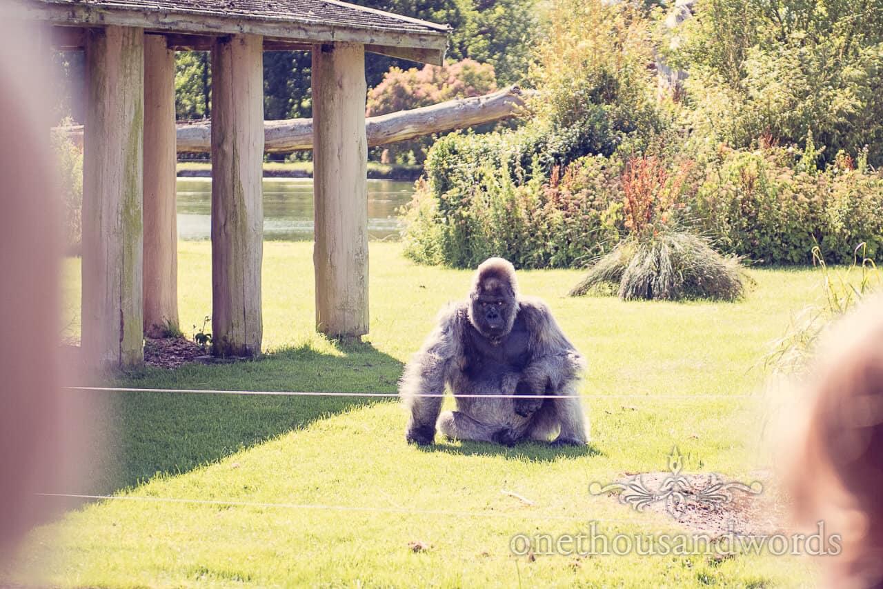Longleat silverback gorilla portrait