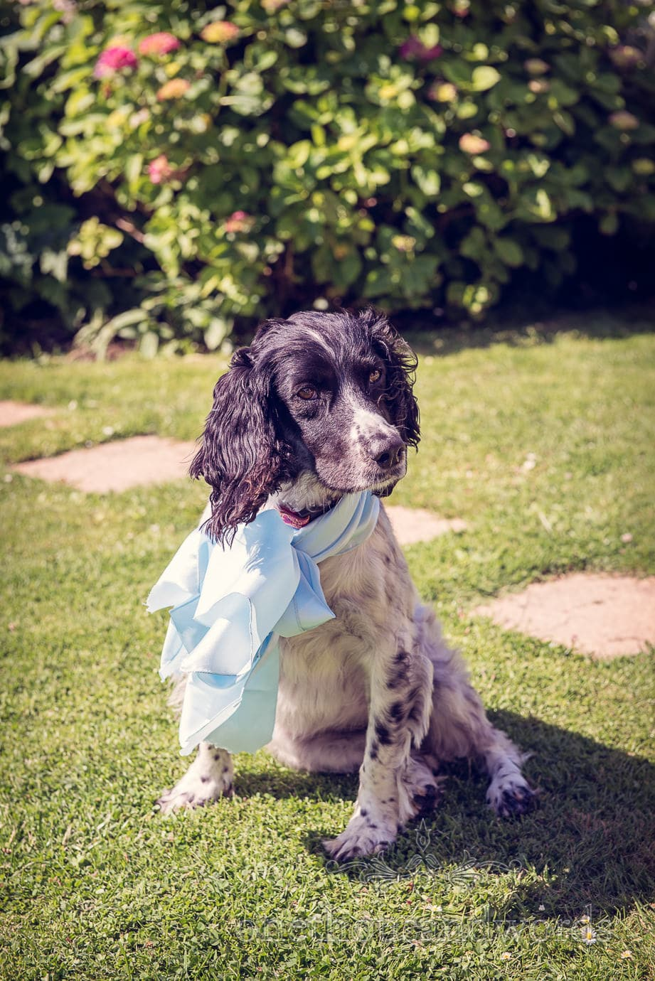 Wedding dog Springer Spaniel with silk bow sits in garden