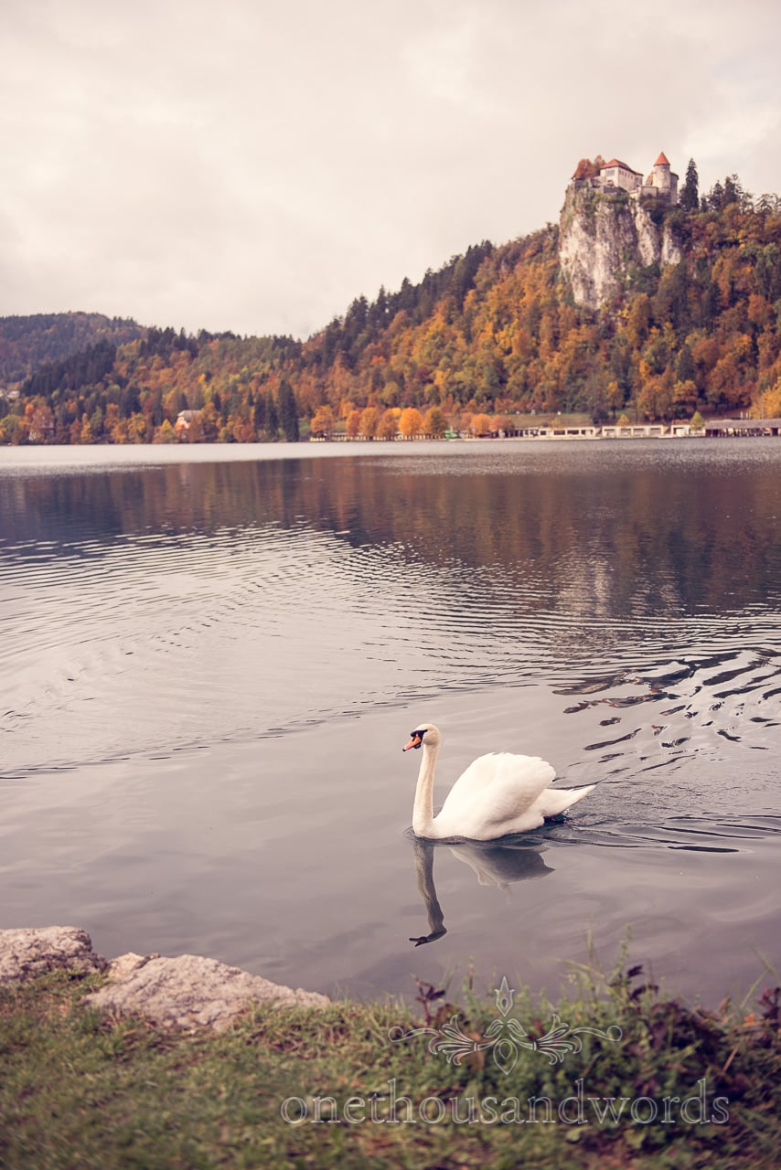 destination wedding photograph of Swan on Lake Bled with Bled Castle Slovenia in the background