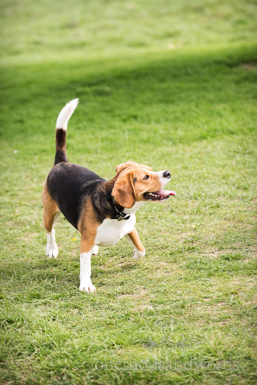 Buddy the beagle is distracted during Badbury Rings Engagement Photographs