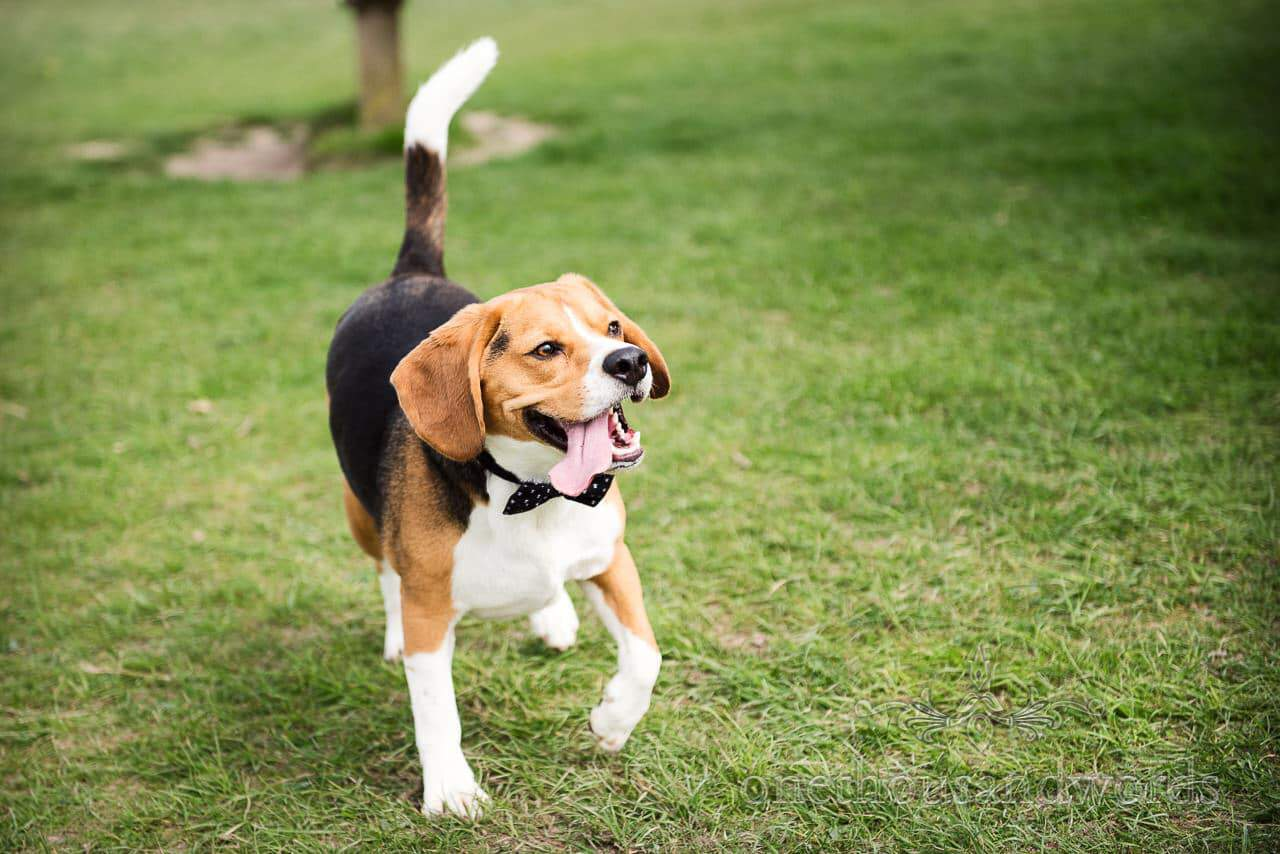 Buddy the beagle shows off his bow tie at Badbury Rings Engagement Photographs