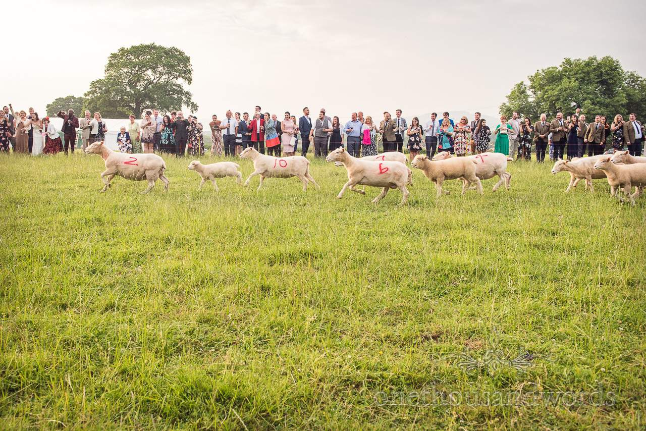 Countryside Wedding Photos of wedding sheep racing being watched by guests