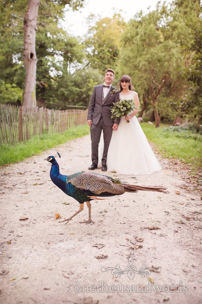 Peacock photo bombs wedding couple photographs at Lulworth Castle Wedding