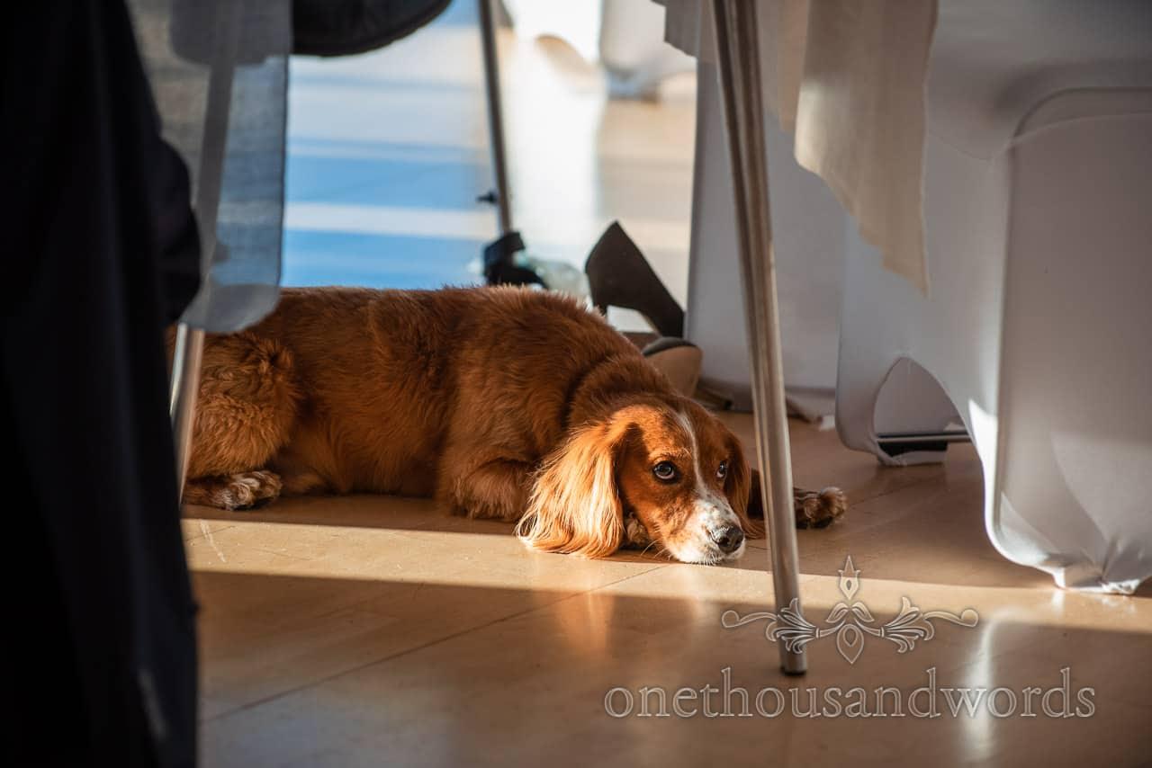 Newlyweds brown dog lies under wedding breakfast table