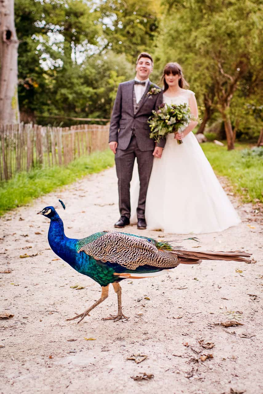 Bride and groom's wedding couple photographs photobombed by beautiful peacock on woodland path